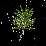 Extracto de Bambú
